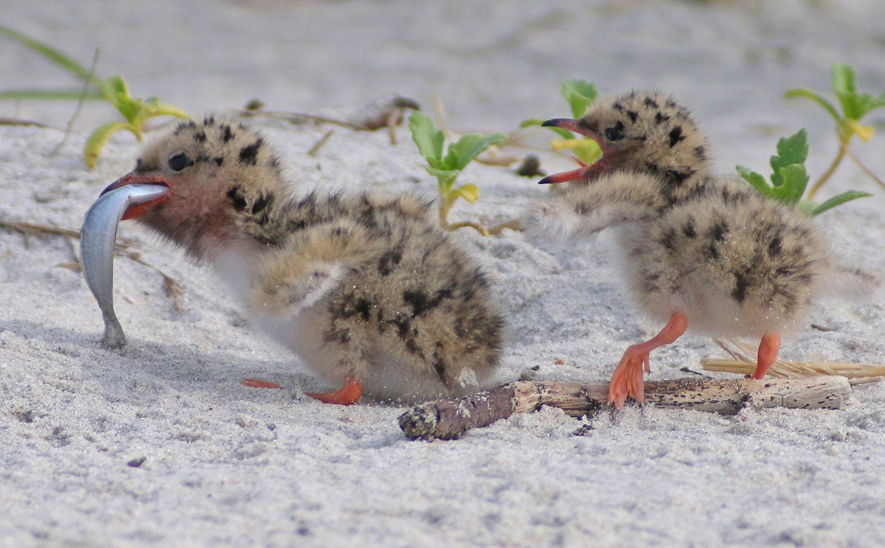 Common Tern chicks with a fish
