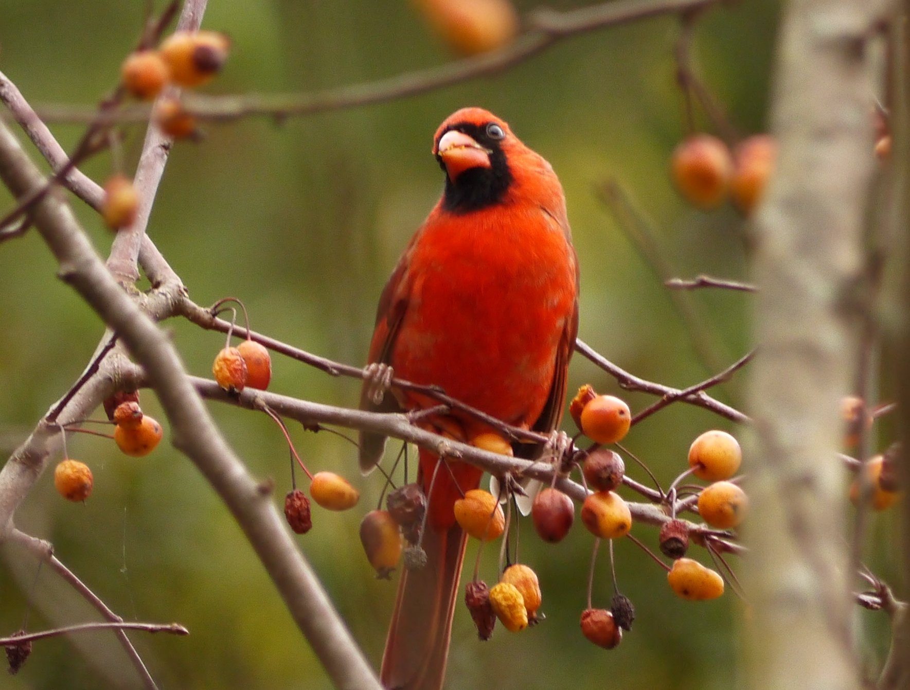 cardinal birding north carolina