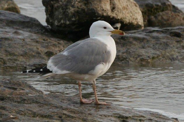 caspian gull 1