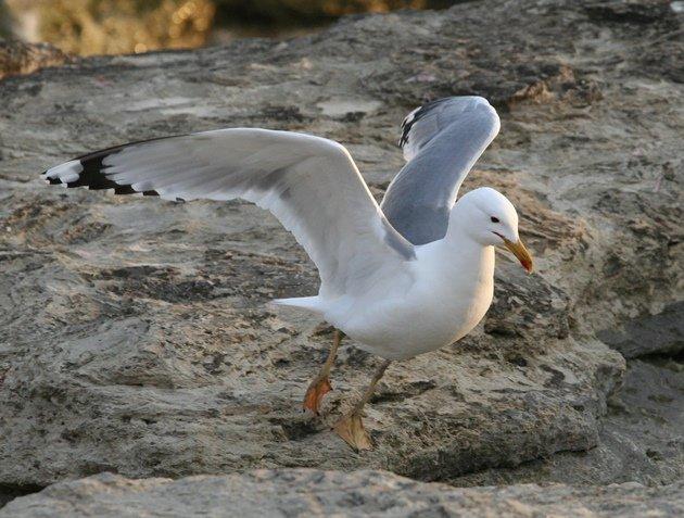 caspian gull 2