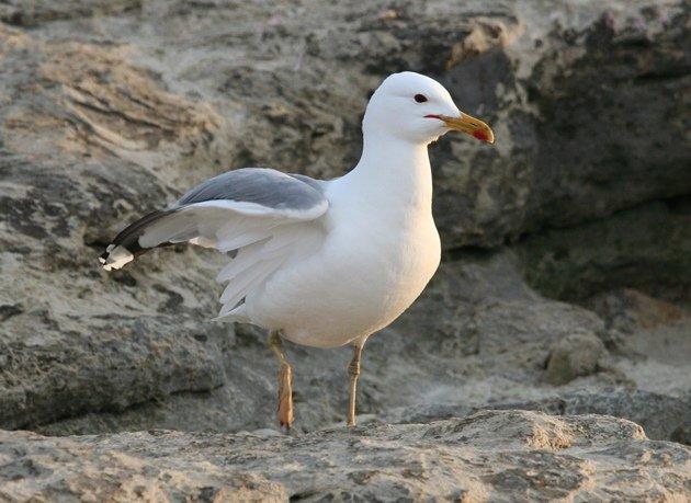 caspian gull 3