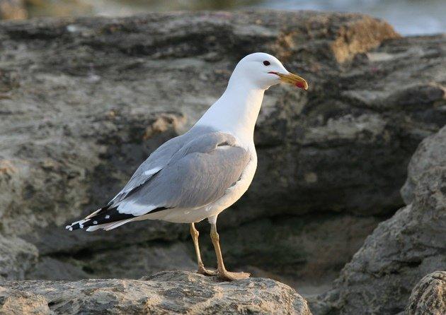 caspian gull 4