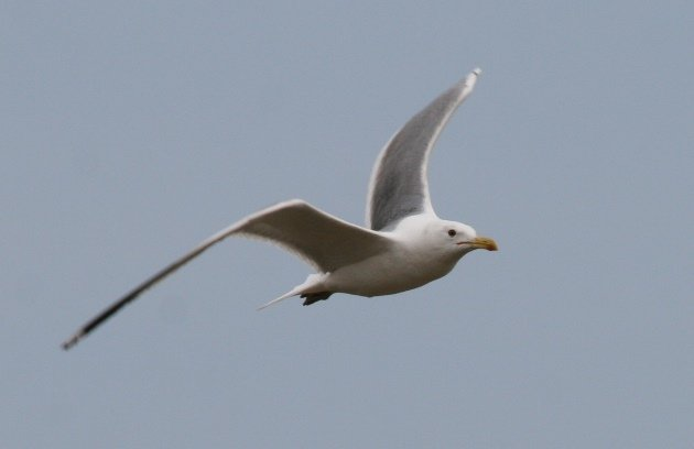 caspian gull in flight