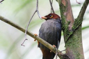 chestnut hooded laughingthrush (2)