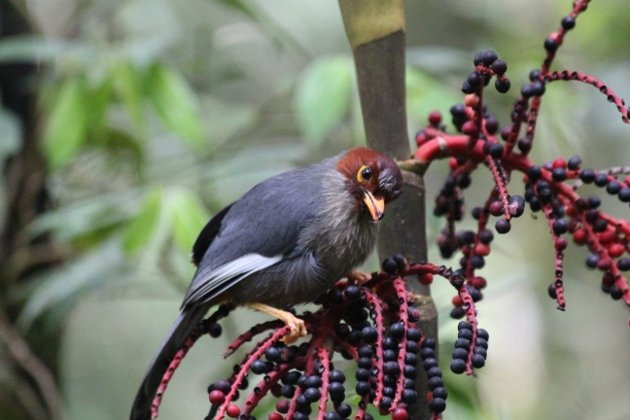 chestnut hooded laughingthrush 3