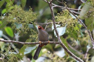 chestnut hooded laughingthrush