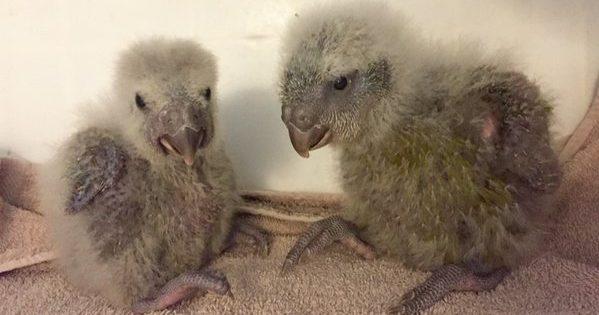 Kakapo are having a great year.