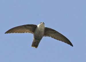 chimney-swift2