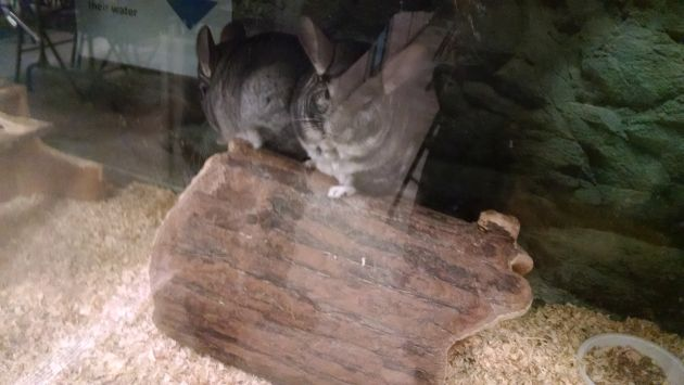 Two chinchillas at Alley Pond Environmental Center