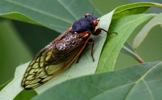 17-year cicada