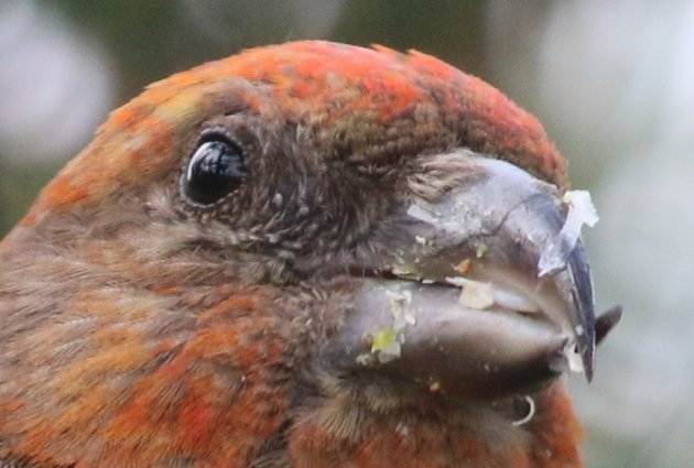 close up crossbill