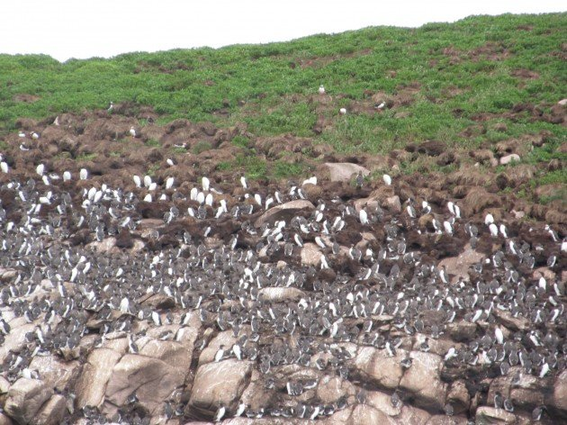 Common Murres on Gull island