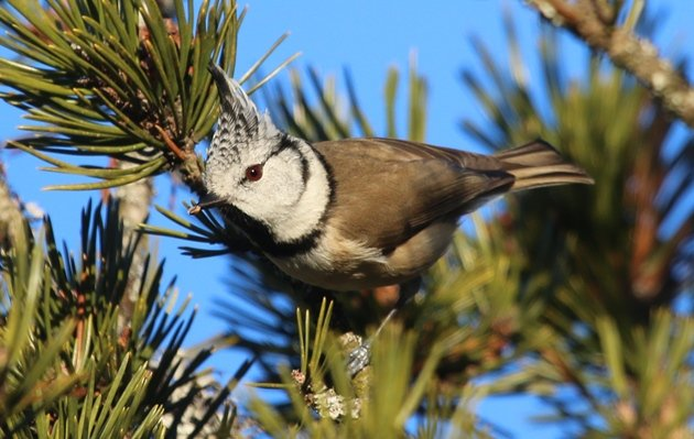 crested tit 1
