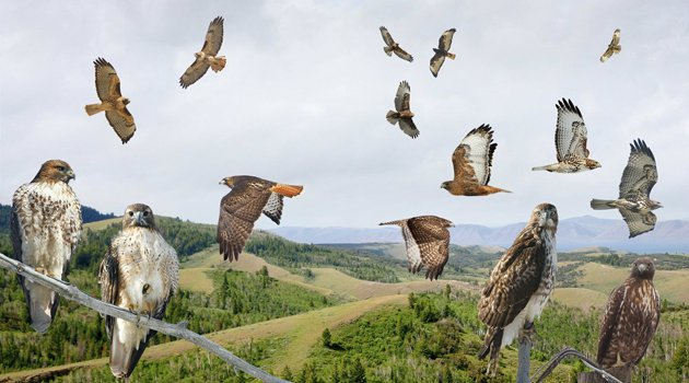 Crossley Red-tailed Hawks