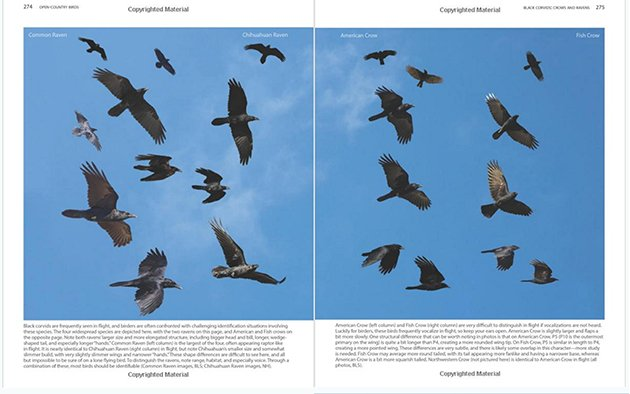 crows in flight spread