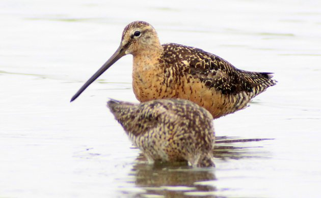 both dowitcher species