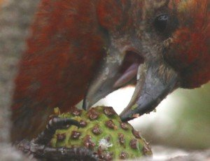 eating crossbill
