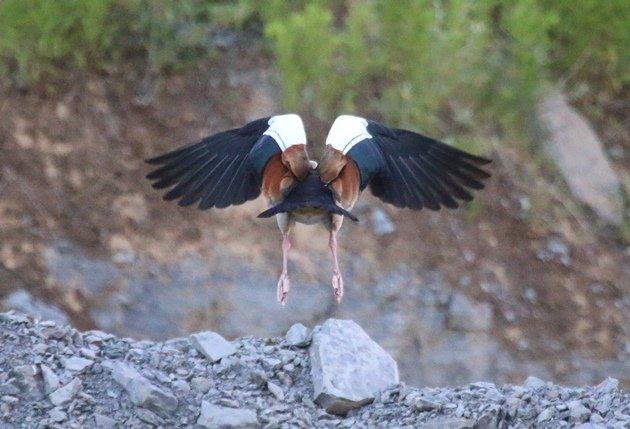 egyptian goose1