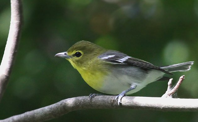 Yellow throated vireo fall - photo#2