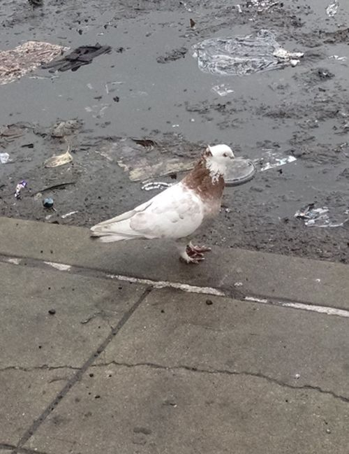 White and brown fancy pigeon on a dirty sidewalk