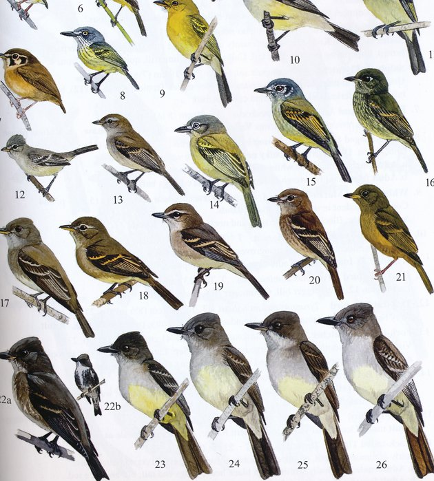 ff.flycatchers.detail