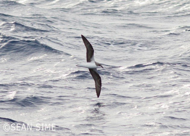 first Fea's Petrel in New York State by Sean Sime