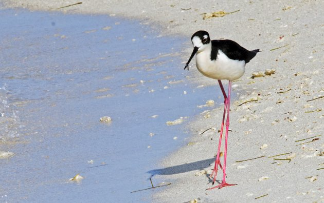 Black-necked Stilt Dry Tortugas 2