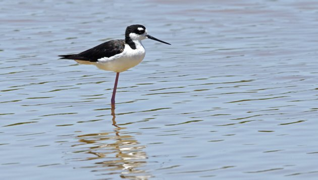 Black-necked Stilt Everglades 1