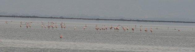 flamingo balz 11