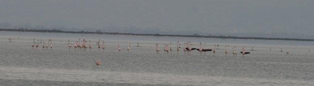 flamingo balz 2