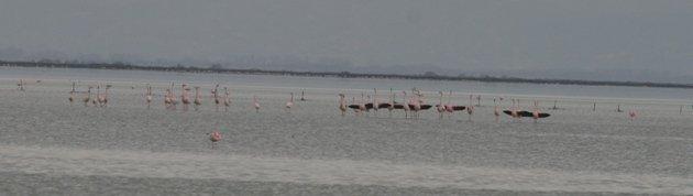 flamingo balz 6