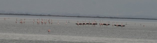 flamingo balz 7