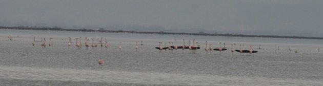 flamingo balz 8