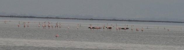 flamingo balz 9