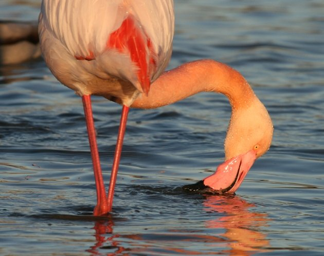 flamingo feeding 1