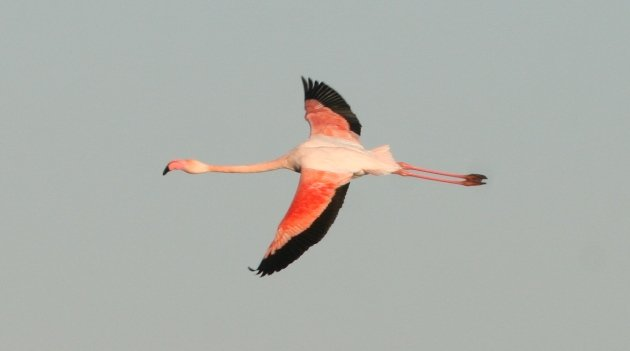 flamingo flight 1