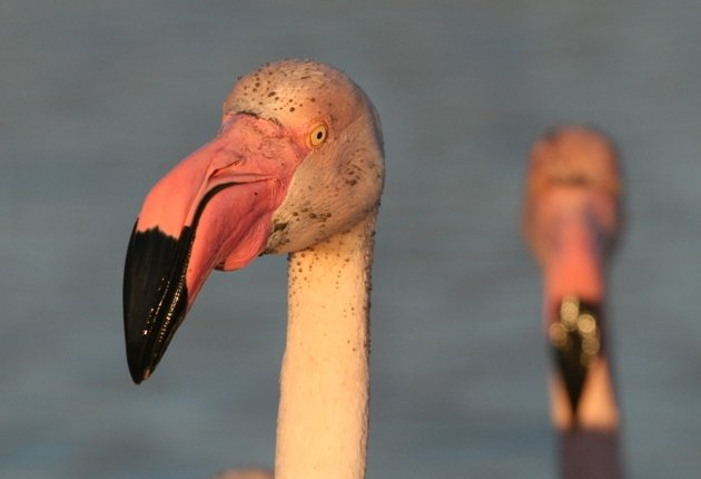 flamingo portrait 1