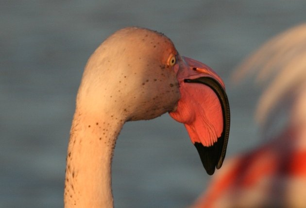 flamingo portrait 2