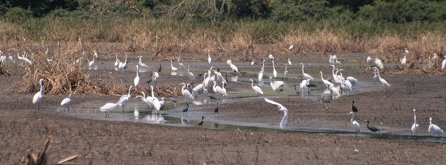 flock of egretta