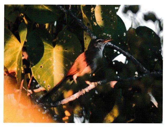 fuller.brushwarbler.630