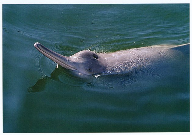 Yellow river dolphin - photo#8