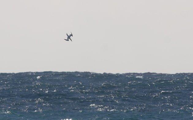 gannet plunging