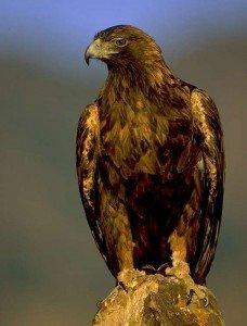 golden_eagle_lg