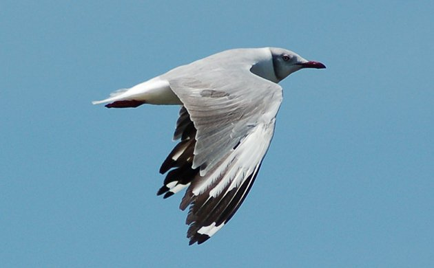 gray_hooded_gull