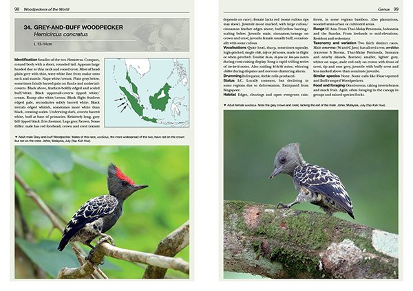 Gray-and-buff Woodpecker