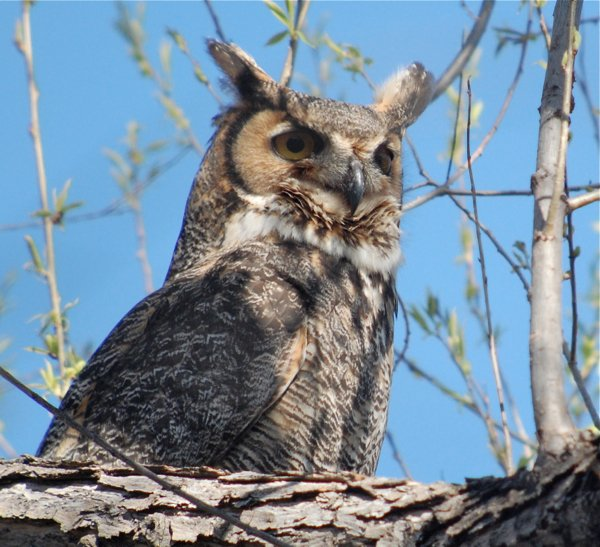 great horned owl oblivious