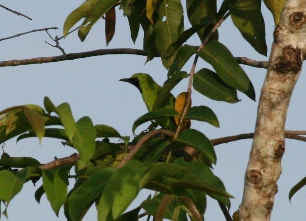 greater leafbird 2