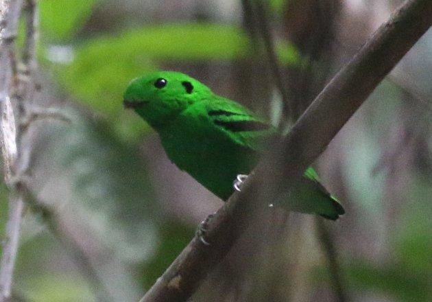 green broadbill 1