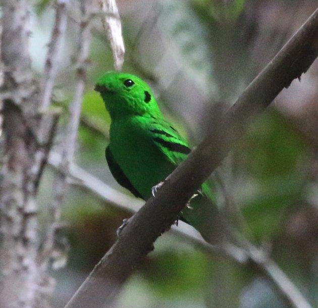 green broadbill 3