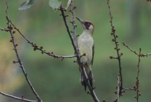 green woodpecker 1